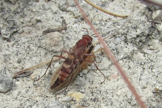 Basket case parasitoid - Ageniella accepta - female