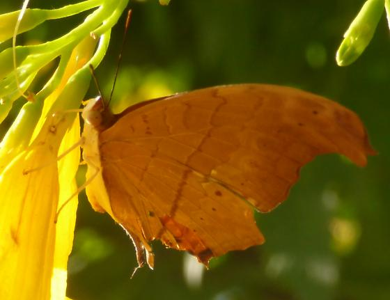 UnknownButterfly107 - Marpesia petreus
