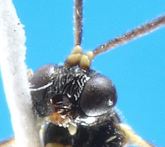 Alaskan Orthopelma - Orthopelma - male