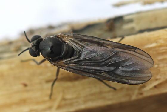 Axymyia furcata - female