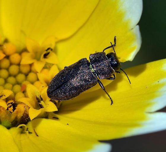 Metallic Wood-boring Beetle - Anthaxia