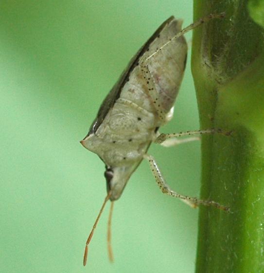 heteropteran - Euschistus tristigmus