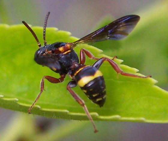 Hymenopteran - Nomada fervida - male