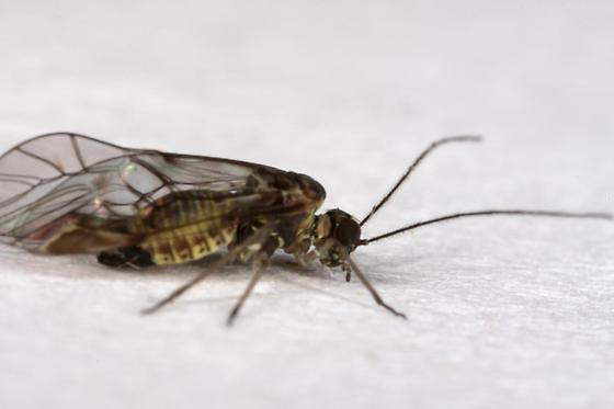Psocopteran of somekind? - Amphigerontia bifasciata
