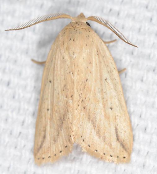 Amolita obliqua - Oblique Grass Moth - Amolita obliqua - male