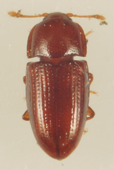 Unknown Beetle - Philothermus glabriculus