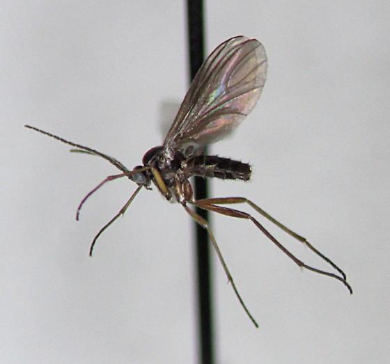 Sciara sciophila - male
