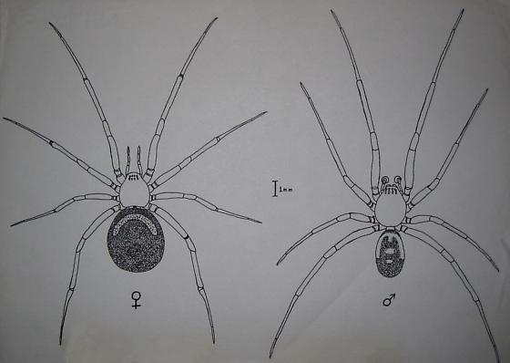 Female and Male - Steatoda grossa - male - female