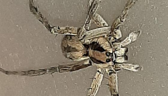 Hogna coloradensis  - Hogna coloradensis - male - female