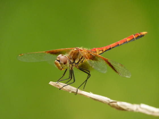 Band-winged Meadowhawk - Sympetrum semicinctum - male