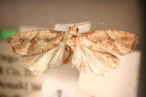 Eucosma derelicta (?) - Pelochrista derelicta - male