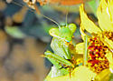 Bordered Mantis (Note blue upper lip!) - Stagmomantis limbata - female
