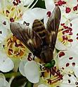 Unknown Dipteran - Chrysops? - Chrysops