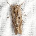 Southern Armyworm Moth - Hodges #9672 - Spodoptera eridania