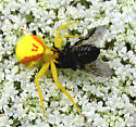 Yellow crab spider eating a horse fly? - Misumena vatia - female