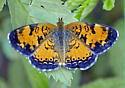 Pearl Crescent? - Phyciodes cocyta - male