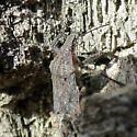 G. Brochymena - Brochymena quadripustulata