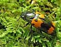Orange and Black Beetle - Megalodacne heros