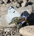 Pontia beckerii - male