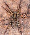 Spider - Gladicosa