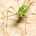 Winged Aphid