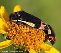 Buprestid - Acmaeodera flavomarginata