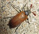 beetle - Sandalus niger - male