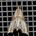 Moth - Dicymolomia metalliferalis