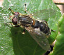 Flower Fly - Lejops bilinearis - male