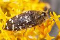 Acmaeodera sp - Acmaeodera