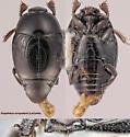 Euspilotus scrupularis (LeConte) - Euspilotus scrupularis - female