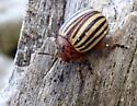 Potato Beetle - Leptinotarsa decemlineata