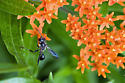 Wasp on Butterfly Weed - Isodontia mexicana
