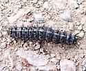 Fat caterpillar - Coloradia doris