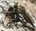 Robber fly - Efferia - female