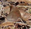 Goatweed Leafwing - Anaea andria