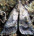 Moth - Tetanolita mynesalis