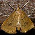 Mint Root Borer - Hodges#4950 - Fumibotys fumalis