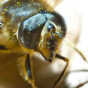 Insects In Mid-November in Newfoundland - Eristalis tenax - male