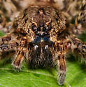 Very large spider - Dolomedes tenebrosus