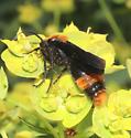 Mutillidae, Common Eastern Velvet Ant, lateral - Dasymutilla occidentalis - male