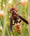 Golden paper wasp - Polistes dorsalis
