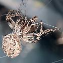 Furrow Orbweaver - Larinioides patagiatus - female