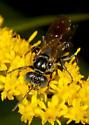 Unknown wasp  - Tachysphex