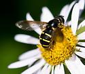 Syrphid Fly - Sericomyia chalcopyga