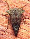 Heliria cornutula