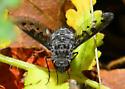 Silverado Bee Fly A - Anthrax varicolor
