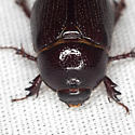 Scarab Beetle - Tomarus neglectus