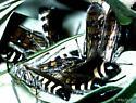 Campsomeris tolteca (Saussure) - Campsomeris tolteca - male