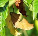 Sneaky Ruddy - Marpesia petreus